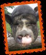 Schwein Schnitzel